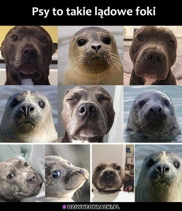 Albo foki to morskie psy