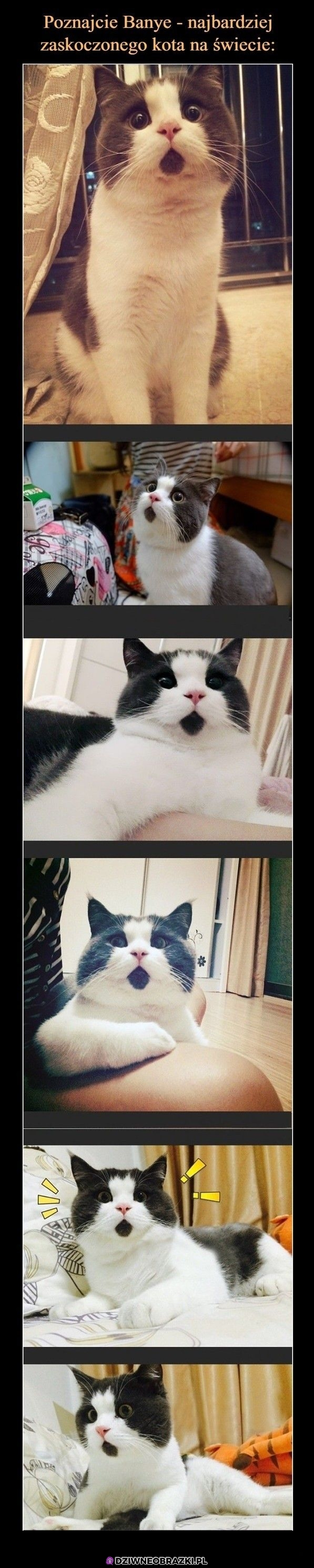 Zaskoczony koteł